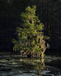 Cypress at Dawn