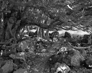 Hobbit Tree